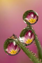 Three dewdrop refractions (Lord V) Tags: flower macro water bravo dewdrop refraction soe naturesfinest blueribbonwinner diamondclassphotographer