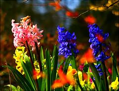 Hyacinths in the woodland garden (algo) Tags: woodland garden photography spring topf50 bravo searchthebest quality topv1111 algo topf100 soe primroses hyacinths naturesfinest beautifulearth magicdonkey abigfave artlibre ci33 200750plusfaves irrisistiblebeauty flickrdiamond haveagreatweekendalex