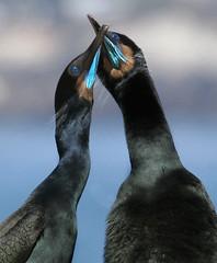 Brandt's Cormorants (Ron Wolf) Tags: bird nature birds cormorant pointlobos courtship phalacrocoraxpenicillatus phalacrocoracidae avianexcellence
