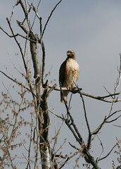 Redtailed Hawk near Midvale