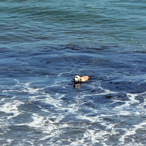 Rare Sea Labrador