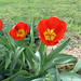 flowers-tulips