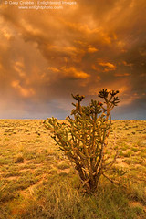 sfe-1030b_550 (enlightphoto) Tags: sunset red sky storm newmexico field grass clouds cholla ilovenaure isawyoufirst diamondclassphotographer