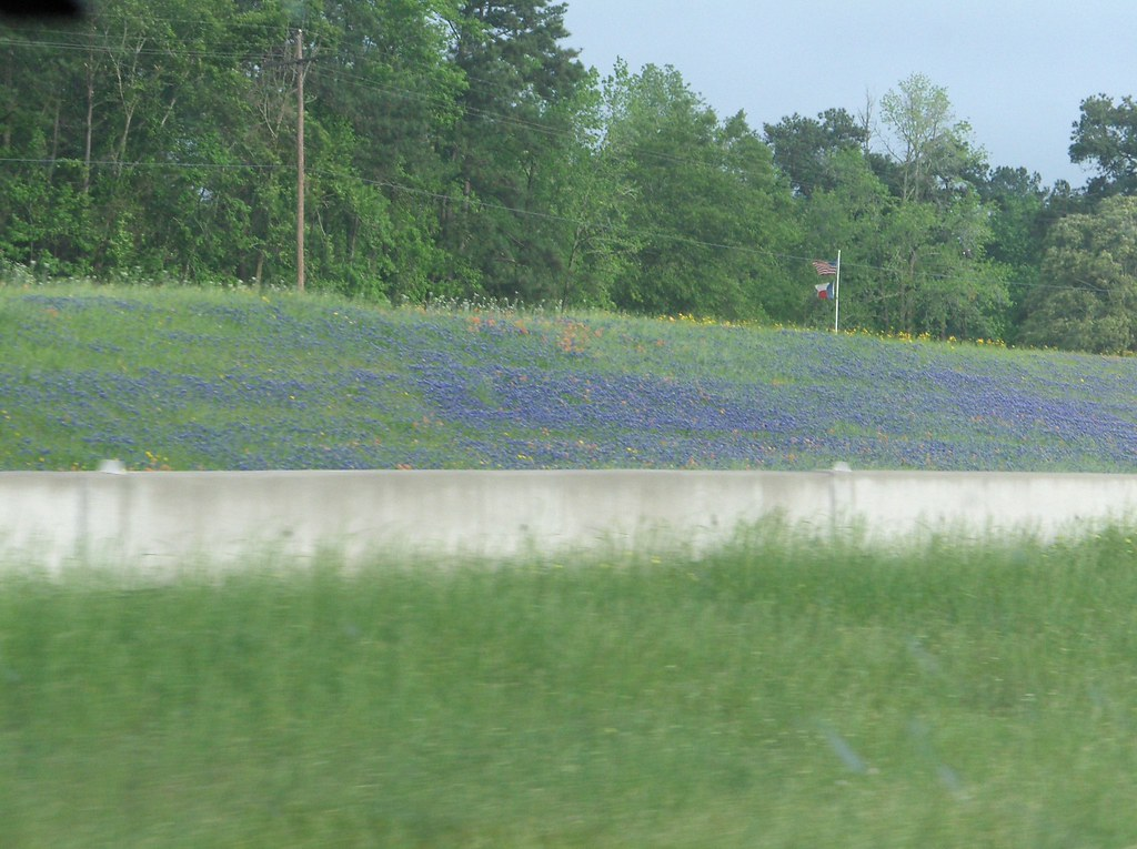 Bluebonnets on the freeway