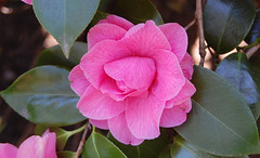 Camelia - by ~~Nelly~~