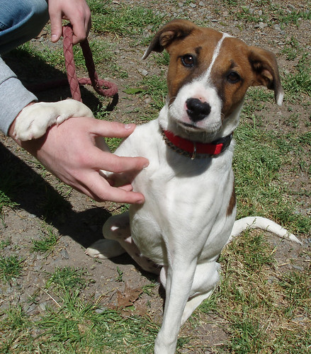 Parsons Russell Terrier. Russell Terrier (Parson