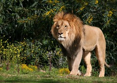 LION KING (Don Baird) Tags: beautiful king quality lion tan strong leaderofthepack specanimal animalkingdomelite