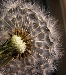 dandelions (baron samedi) Tags: flower mouth petals blowing dandelion hate when they phew dandelions blown inthewind