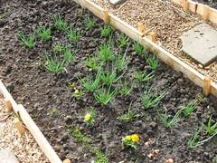 Shallots, Carrots, Tagetes