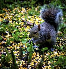(mightyquinninwky) Tags: squirrel kentucky urbanwildlife lexingtonky frontyard fontaineroad chevychasearea