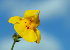 Common Monkeyflower 3715 - by casch52