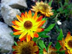 Yellow Orange Flowers (The Adventures of Kristin & Adam) Tags: flowers orange yellow specnature