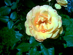 Rose Picture from Flickr.com