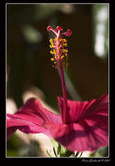 What's Up? (Mr. Gee) Tags: pink light flower 20d yellow canon dof hibiscus shade stamen sigma105mm aplusphoto