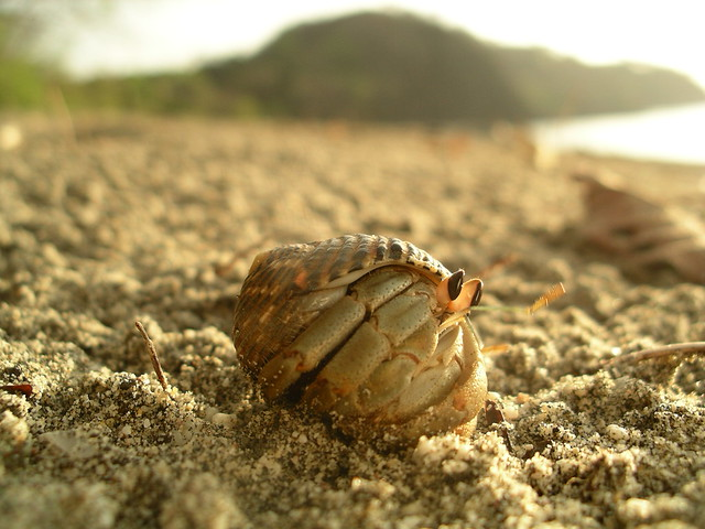 Hermit Crab Peeking from Shell