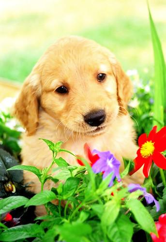 golden retriever puppy pictures. Golden retriever puppy