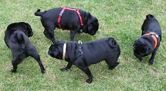 Pug Circle (Laura Callan) Tags: park family dog pet green london dogs up saint animal st puppy fun james puppies play pug canine pugs meet pedigree