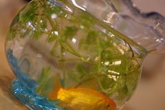 新しい金魚鉢