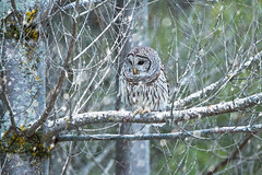 Barred Owl (NicoleW0000) Tags: barred owl snowing photoshop wild wildlife nature photography december outdoor