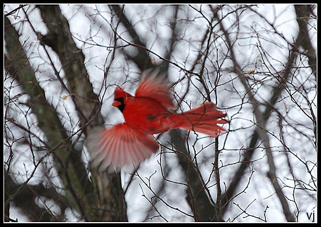 Northern Cardinal, MI