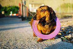 sickly sweet (lomokev) Tags: dog cute circle top20animalpix brighton dof purple low ground ring depthoffield contax agfa sick ultra vomit t2 agfaultra sickening contaxt2 kute sausagedog ratseyeview deletetag filecontax1106b095ps