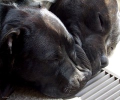 Puppy Love (Ev Lloyd) Tags: sleeping dogs zoe ollie staffy staffies staffordshirebullterriers impressedbeauty