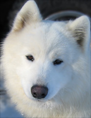 samoyed (neoserenity333) Tags: dog canon samoyed sled aclass sd500 abw mywinners impressedbeauty superaplus aplusphoto flickrchallengegroup