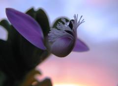 Life is a Flower (Stranju) Tags: sardegna flower macro italia sardinia fiore casamia canons3is uras commentscommentscomments p1f1 stranju aplusphoto sfidephotoamatori