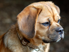 Puggle puppy - by Fotos by Dee