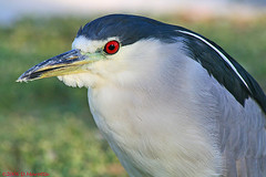 Night Heron Portrait (MissionPhotography) Tags: fruits bravo blend acai blackcrownednightheron nycticoraxnycticorax monavie featheryfriday avianexcellence qemdadminfave