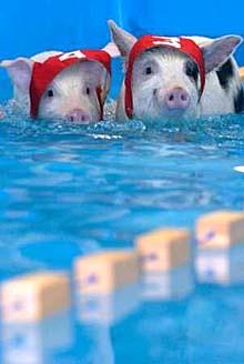 (모스크바)돼지 올림픽대회의 돼지 수영선수들