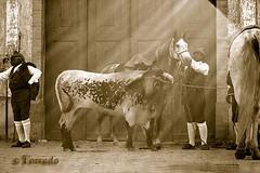 Spia (Torrado) Tags: costumes horses horse portugal caballo cheval caballos gente cavalos ecuestre portuguese cavalli cavallo cavalo pferd equestrian chevaux paard herdsmen ribatejo lusitano mayoral cavaleiro samoracorreia campino campinos cabresto equestre lusitanien