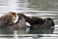 sea-otter-morro-bay_05