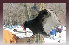 Turkey Vulture (blmiers2) Tags: winter snow newyork nature geotagged blog vulture 2007 turkeyvulture wildwings falconiformes mendonponds cathartidae accipitriformes blm18 blmiers2
