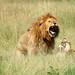 Lions Doing It