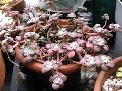 Stonecrop (joeysplanting) Tags: crassulaceae sedum succulents stonecrop sedumspathulifolium sedumspathulifoliumcarnea
