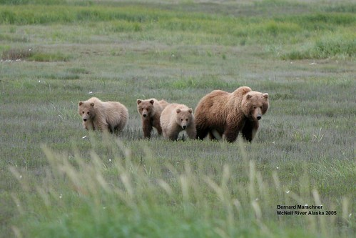 McNeil Sow and 3 cubs