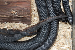 Black pine snake mating activity