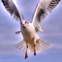 022707 seagull in flight - new improved version (petervanallen) Tags: blue sea sky seagulls white bird nature birds clouds photoshop portland ilovenature nikon bravo wildlife seagull gull gulls flight dorset moment southcoast mapping wowie ornithology weymouth tone hdr rbg elegance flickrsoup blueribbonwinner photomatix tonemap d80 specnature 1exp explorenomore nikond80 photosworld ultimateshot flickrchallengegroup flickrchallengewinner