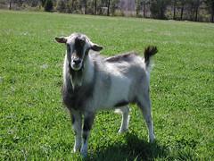 Crossbred Pygmy goat