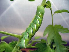 Tobacco Hornworm (Manduca sexta) on Tomato