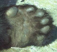 Tai's Paw - Up Close [CP] (Mar 07) (Dan Dan The Binary Man) Tags: bear park white black animal animals fur smithsonian dc washington paw panda bears tai national nationalzoo endangered shan fonz pandas taishan zoological butterstick pandasunlimited thebiggestgroup snzp fcawinner