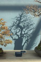 Three trees, Bonsai Museum, BBG