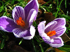 stripey crocus