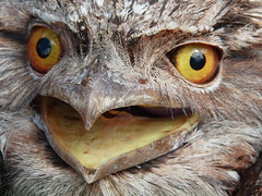 Crikey - a Tawny Frogmouth (Garry - www.visionandimagination.com) Tags: birds photography flickr oz photographers australia explore getty aus gettyimages crikey tawnyfrogmouth stockphotography frogmouth podargusstrigoides interestingness317 i500 wildlifeconservation specanimal animalkingdomelite wildlifeofaustralia anawesomeshot impressedbeauty visionandimagination wwwvisionandimaginationcom