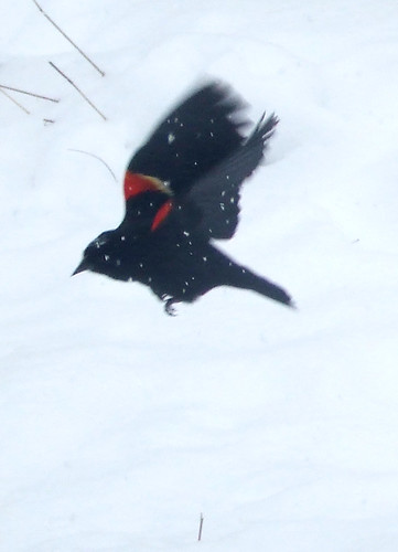 red-winged blackbird in snowstorm