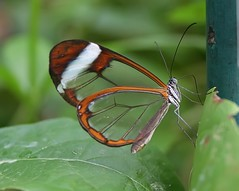 Glasswing on Post (CRimages) Tags: favorite macro digital canon wow butterfly interesting wings butterflies explore 100views karma 500views showcase magicwings iflickr greatcapture welcometomyworld 10favorites interestingness231 i500 theworldthroughmyeyes 250views impressedbeauty wtmwchallengewinner