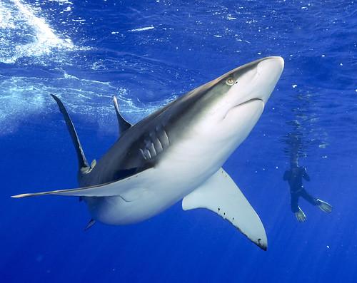 Galapagos Shark off Oahu North Shore