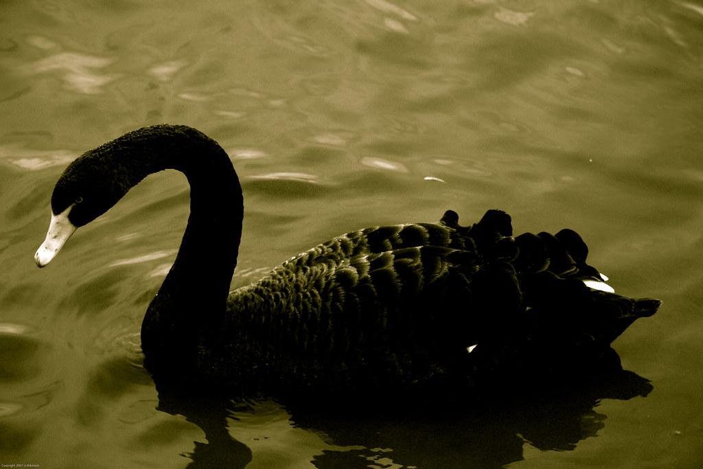 black swan animal - photo #14