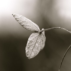 hydrangea whispers ... (jude) Tags: bw macro square leaf bravo searchthebest bokeh explore jude judith trophy hydrangea dried labyrinth soe squared 2007 elegance naturesfinest meskill judithmeskill magicdonkey outstandingshots mywinners abigfave artlibre flickrgold 30faves30comments300views impressedbeauty 50faves50comments500views judeonflickr